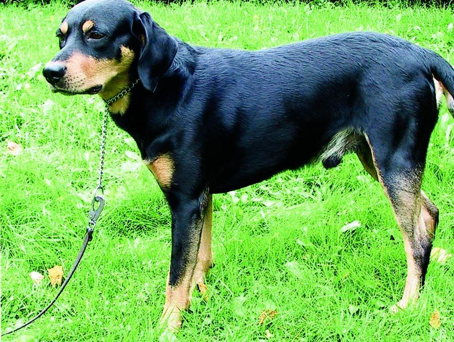 Собаки породы словацкая жесткошерстная легавая, характерные особенности, история происхождения и стандарты породы
