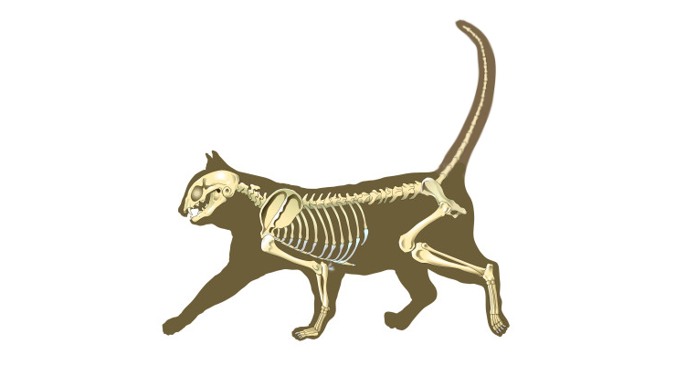 Хвост у кошек это хрящ или кость