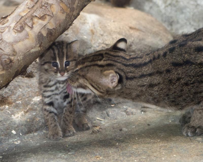 Виверровый кот-рыболов (крапчатая кошка): описание с фото и видео