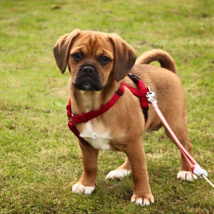 Пагль или пигль: фото и описание породы собак пагль или пигль: фото и описание породы собак