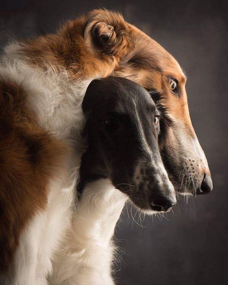 Русская псовая борзая: 130 фото и видео описание охотничьей собаки