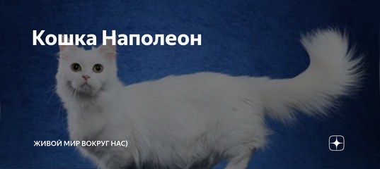 ᐉ наполеон или менуэт: описание породы кошек, 25+ фото, цена - zoogradspb.ru