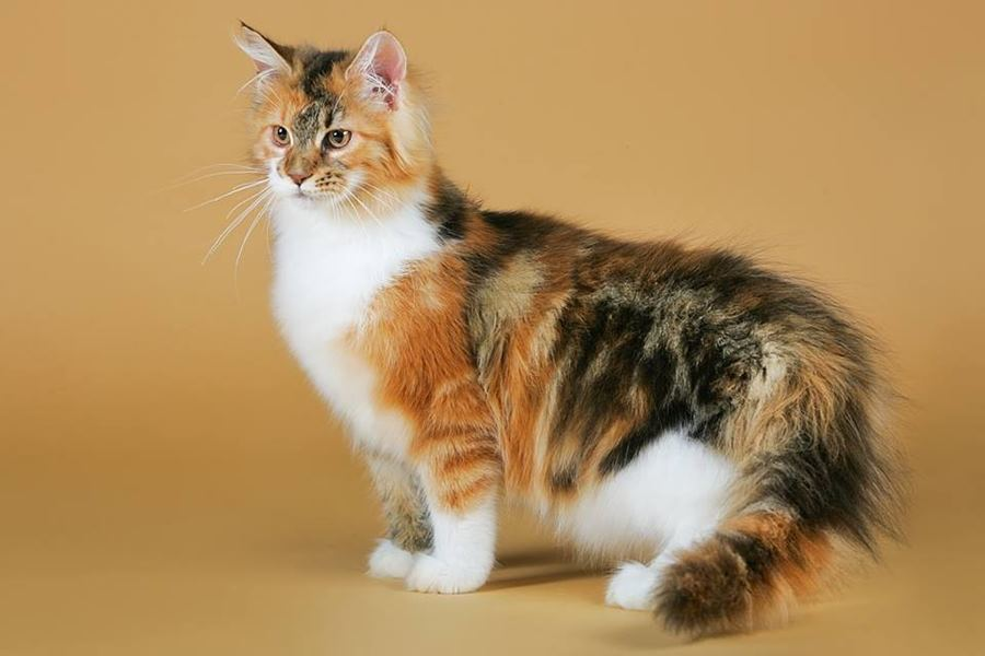 Окрасы кошек (окрас на шерсти кощачьих), коды окраса таблица