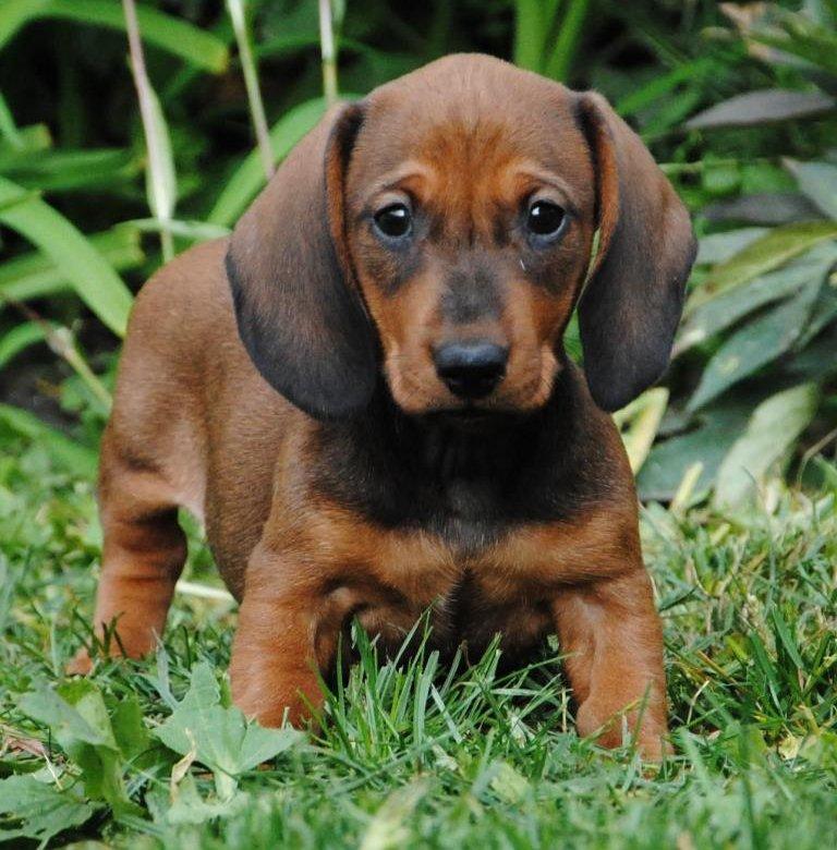 Такса — верный друг и просто красивая собака! узнайте полную историю происхождения и особенности характера пса в обзоре с фото и видео