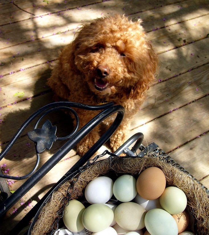 Можно ли кормить щенка вареными яйцами