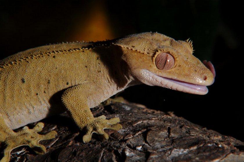 Ресничный геккон бананоед, уход и содержание в домашних условиях