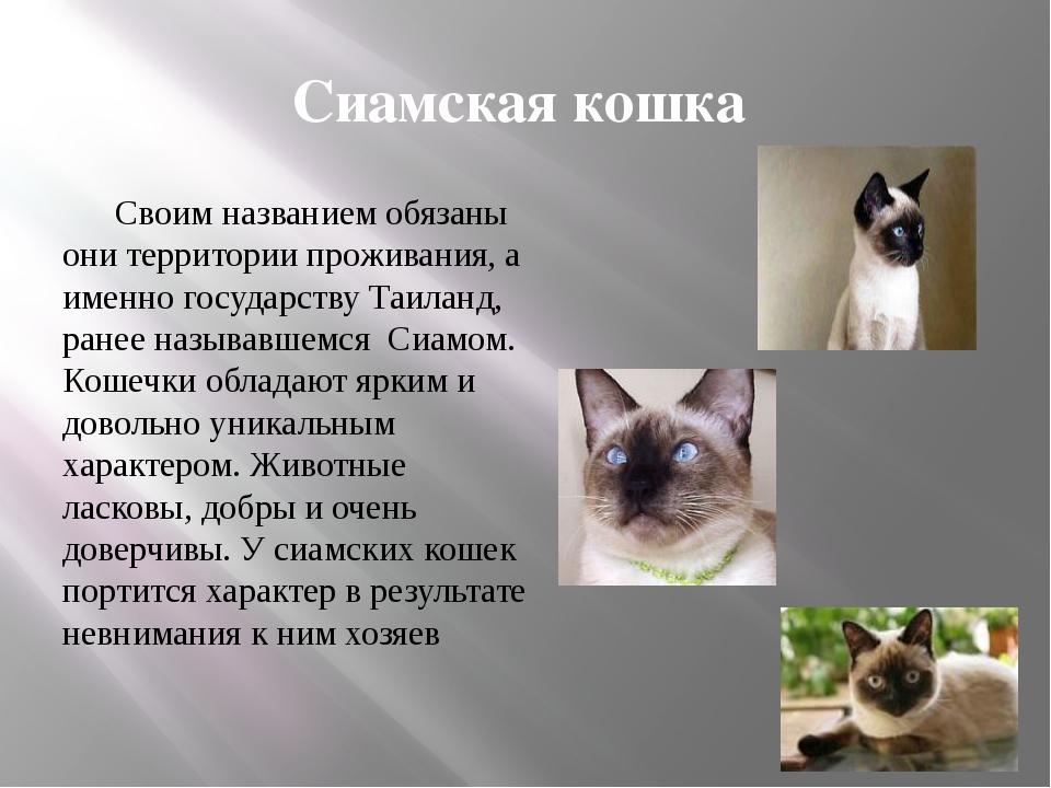 Сиамская кошка: описание породы, уход и содержание, фото, чем кормить