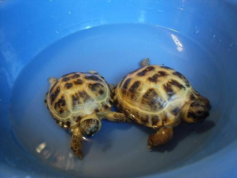Чем и сколько кормить черепах в домашних условиях
