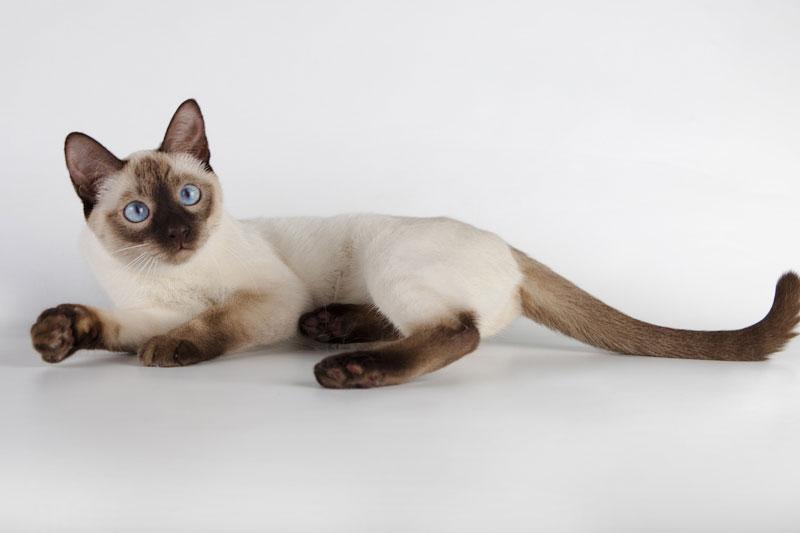 Тайские кошки: описание породы, варианты окраса и особенности содержания