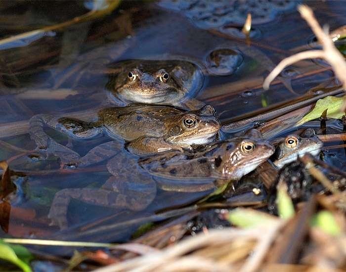 Остромордая лягушка. образ жизни и среда обитания остромордой лягушки | животный мир