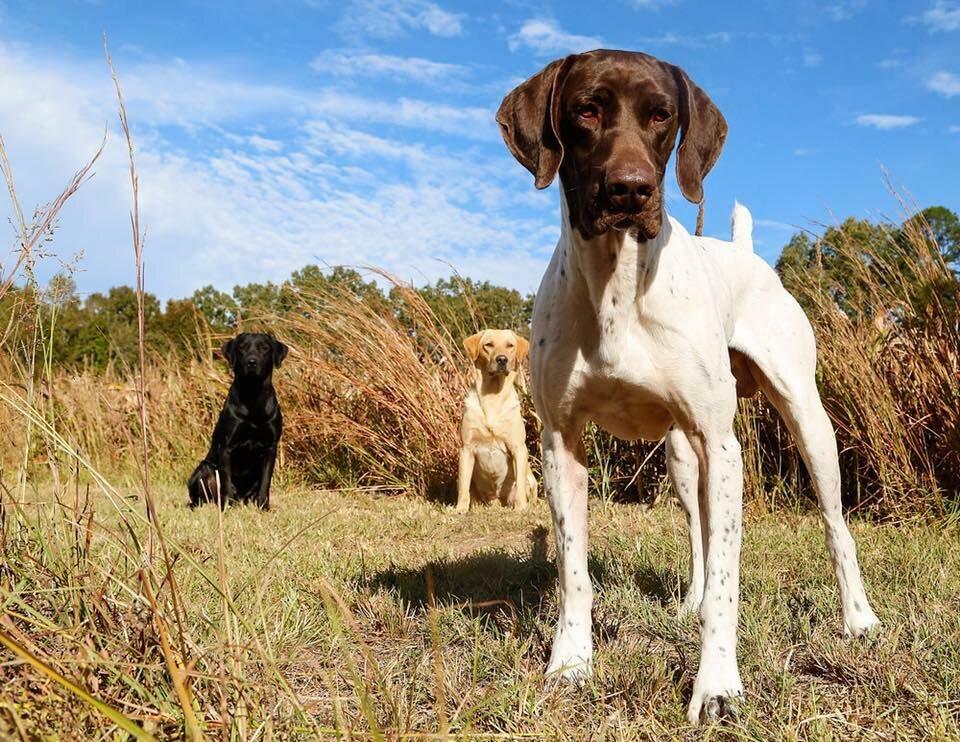 14 лучших пород собак для различных видов охоты   last day club