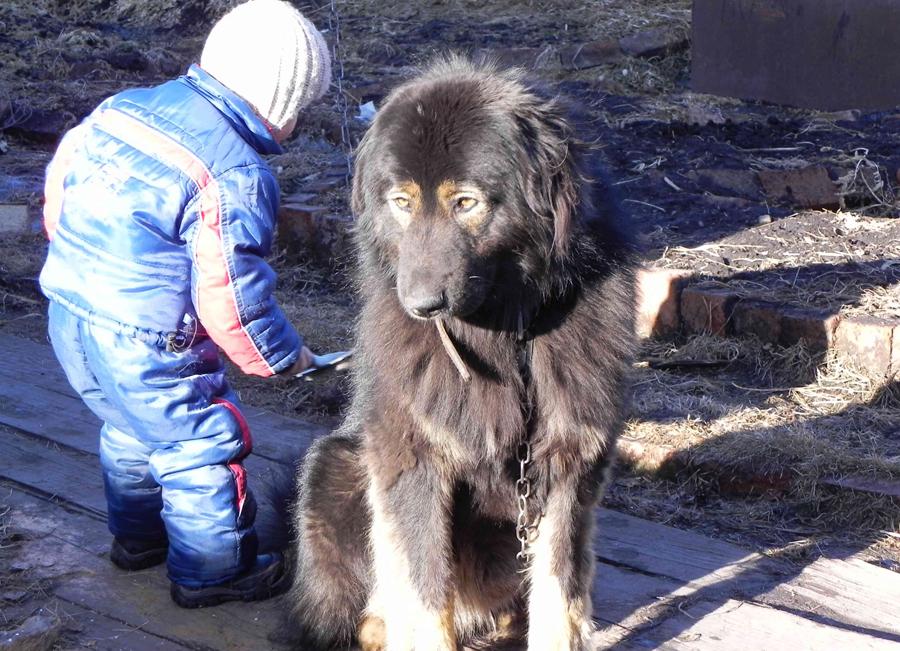 Как ухаживать за монгольской овчаркой банхар?
