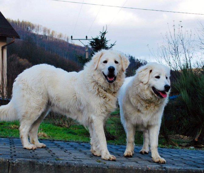 Чехословацкий влчак: все о собаке, фото, описание породы, характер, цена