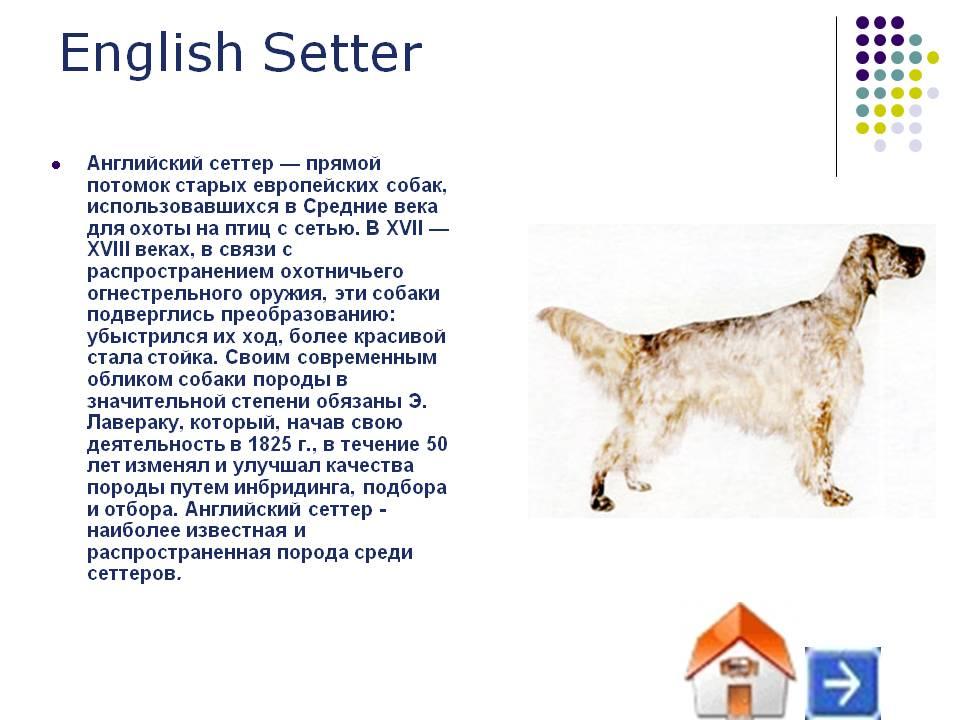 Сеттер (54 фото): описание английского сеттера и других пород. собаки черного, красного, рыжих и других окрасов. выбор щенка
