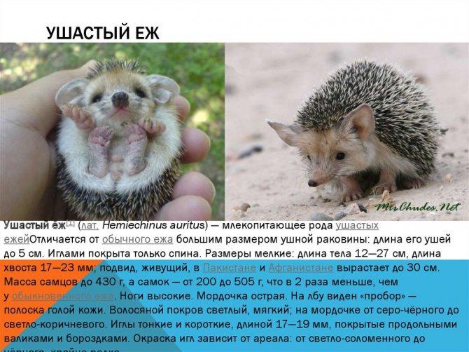 Еж: его повадки, ареал обитания, питание, виды ежей, фото