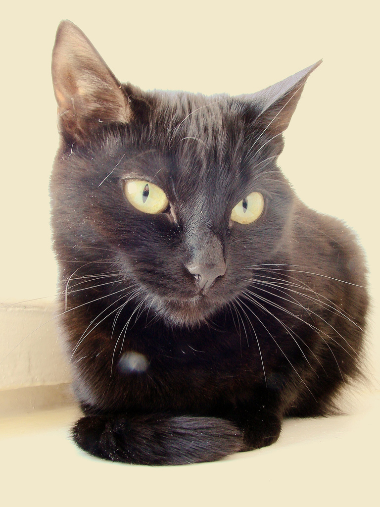 Шоколадная йоркская кошка: описание, характер, цена йоркской кошки