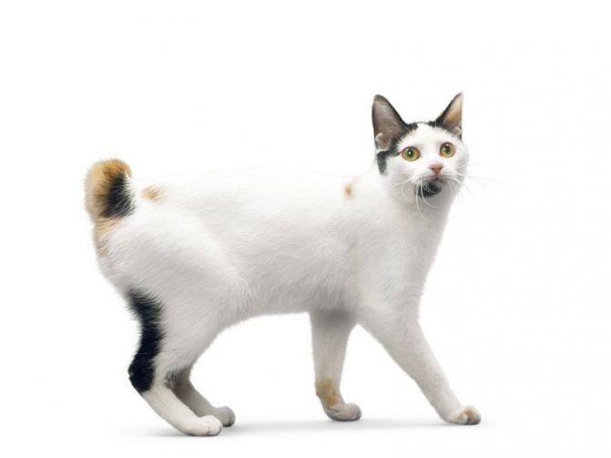 Курильский бобтейл: все о кошке, фото, описание породы, характер, цена
