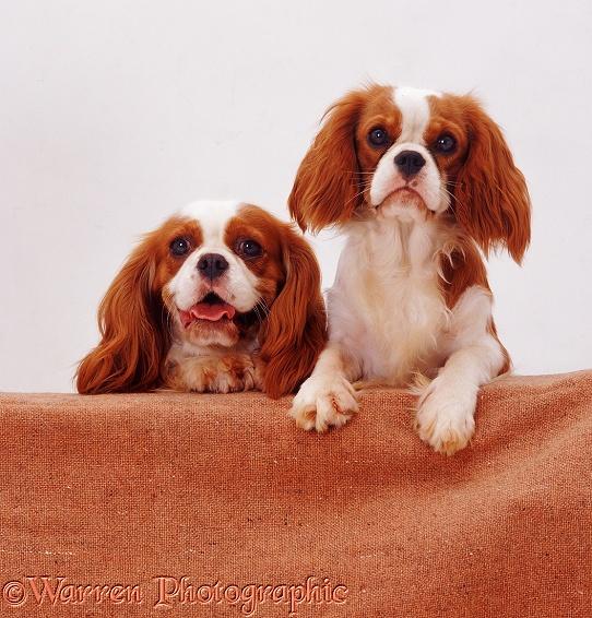 Кавалер кинг чарльз спаниель: фото, видео и описание породы собак, уход за спаниелями