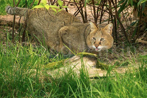 Камышовый кот: варианты названия пород и размеры животного