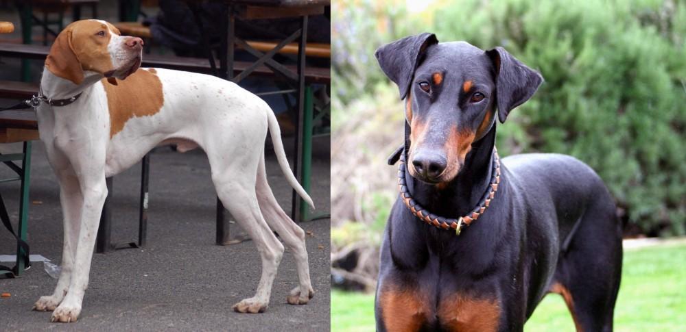 Английский пойнтер — фото, описание породы собак, особенности