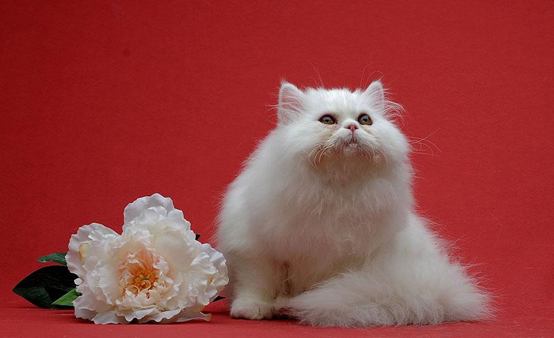 Наполеон – подробный обзор породы кошек (+ фото и видео)