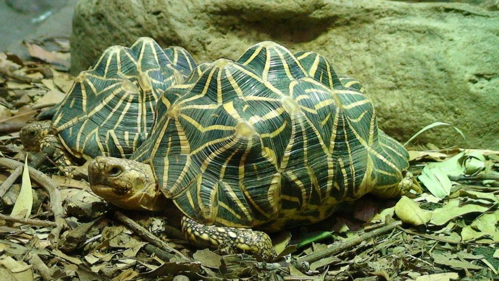 Индийская звездчатая черепаха   мир животных и растений
