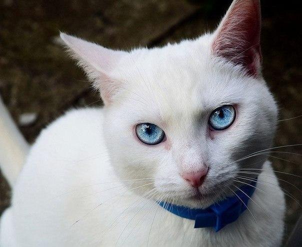 Почему белые кошки глухие и все ли они такие? - окружающий мир вокруг нас