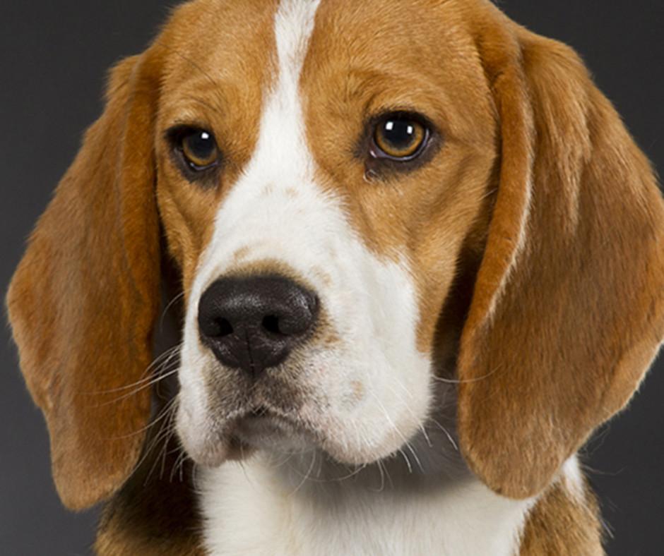 Американский фоксхаунд - описание гончей порды собак
