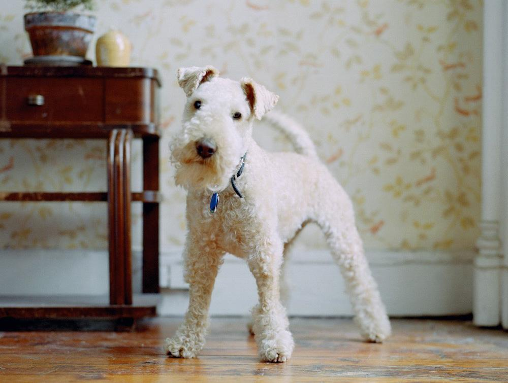 Все о лейкленд-терьере: описание собаки с фото, особенности ухода и разведения, отличия от вельштерьера и других пород
