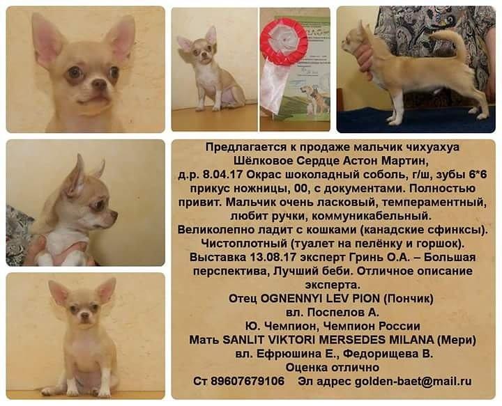 ᐉ как ухаживать за щенком чихуахуа - ➡ motildazoo.ru