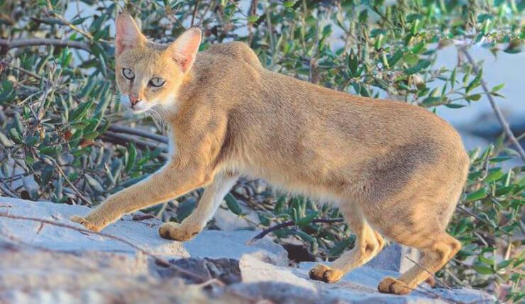 Камышовый кот ???? фото, описание, ареал, питание, враги ✔