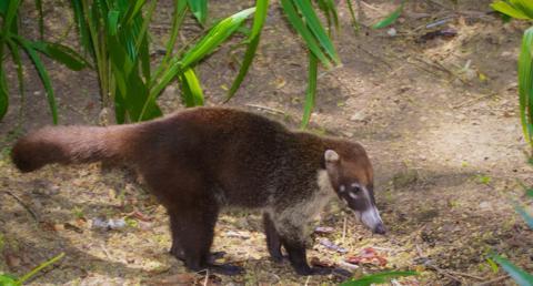 Носуха. описание и жизнь в дикой природе