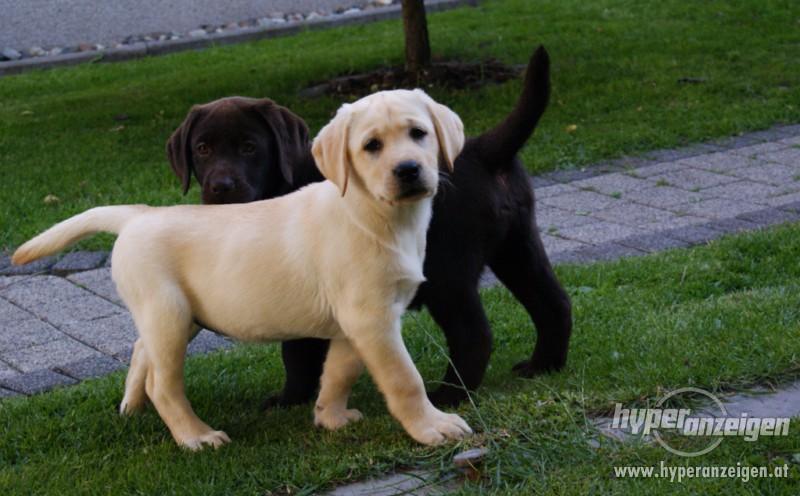 Сколько стоит лабрадор, цена щенка, какие возможны виды окрасов лабрадоров