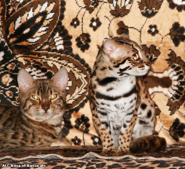 Бенгальская кошка : содержание дома, фото, купить, видео, цена