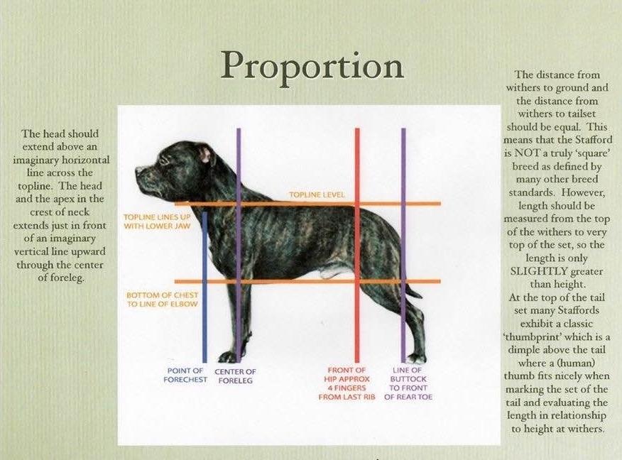 Шипперке: стандарт бельгийской породы, описание, характер схипперки, уход, цены и фото