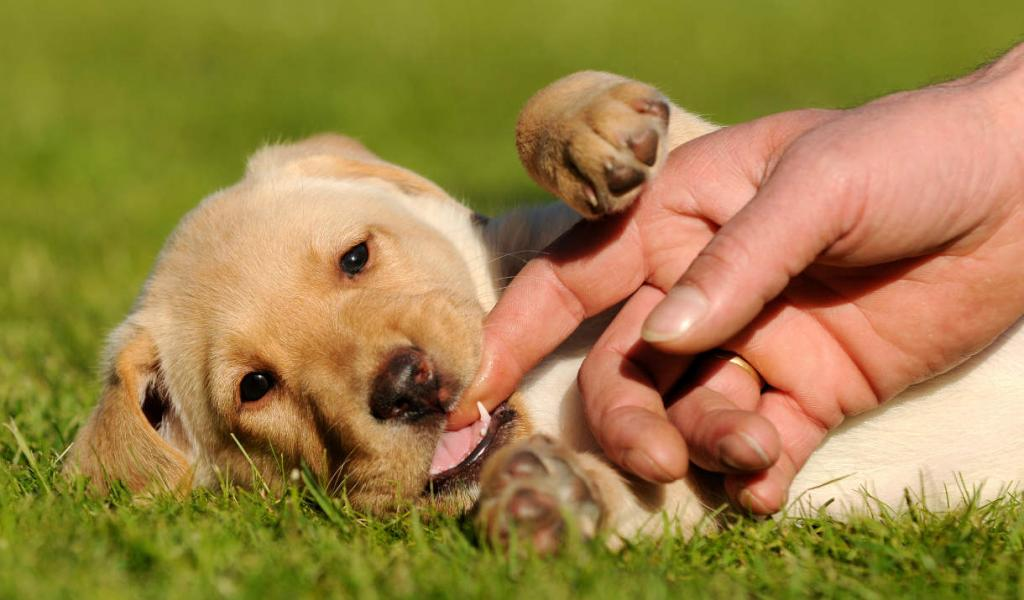 Как отучить щенка кусаться за руки и ноги хозяев?