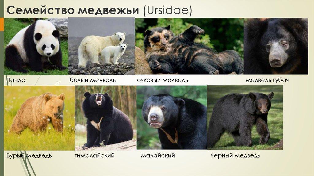 Бурые медведи: описание и среда обитания. интересные факты о бурых медведях :: syl.ru