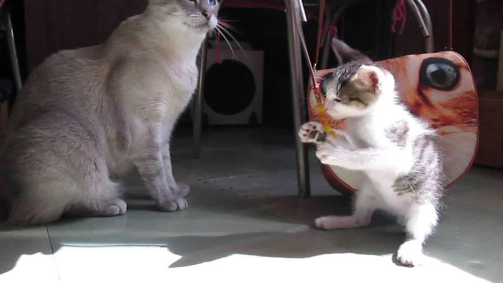 Кошачье общежитие — как подружить мурлыкающих питомцев