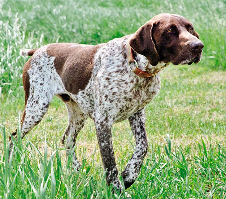Курцхаар фото, описание породы собак, цена щенка, отзывы
