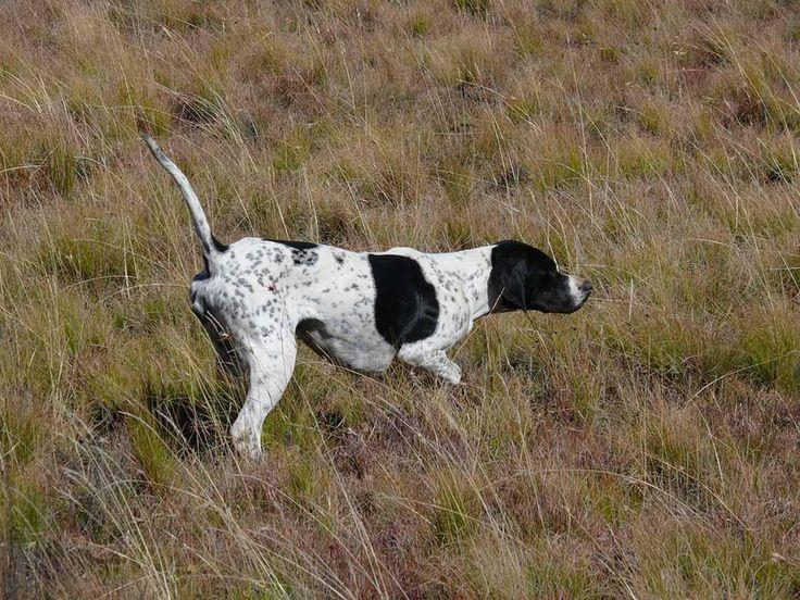 Надежность и преданность: особенности ухода за охотником породы английский пойнтер