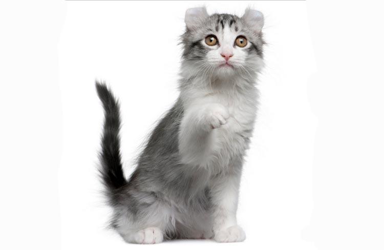 Удивительные кошки кинкалоу