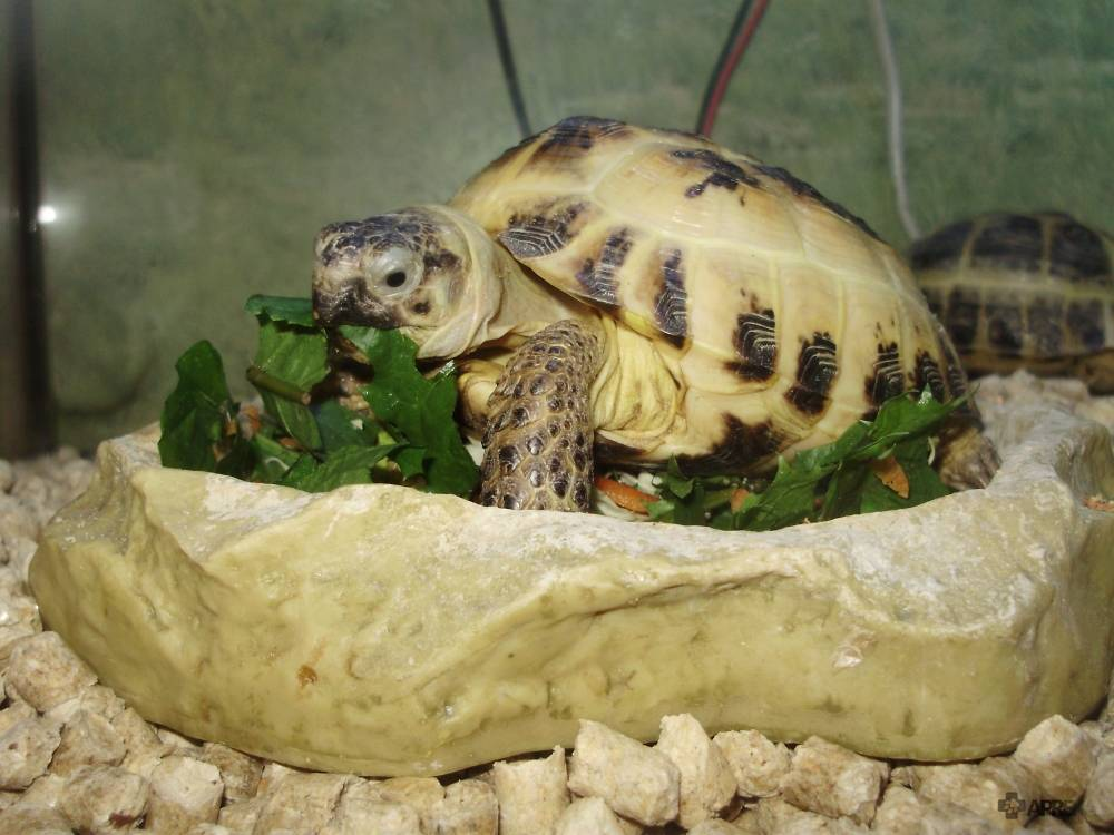 Как поить сухопутных домашними черепахами