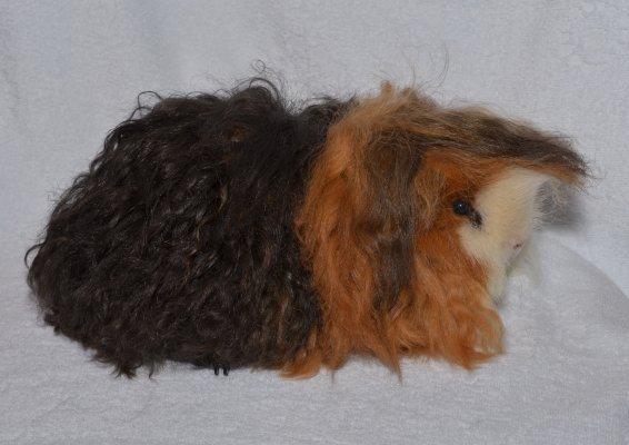 Длинношерстная морская свинка (38 фото): описание пород пушистых свинок шелти и коронет, лохматая тексель и волосатая лункария
