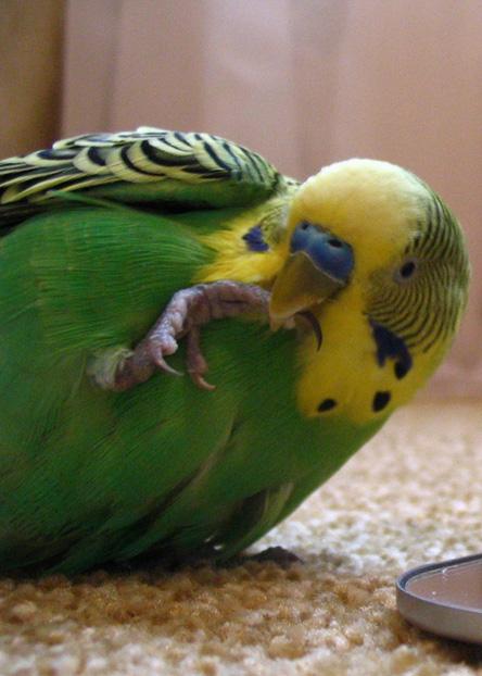 Миссия выполнима: как быстро разговорить волнистого попугая