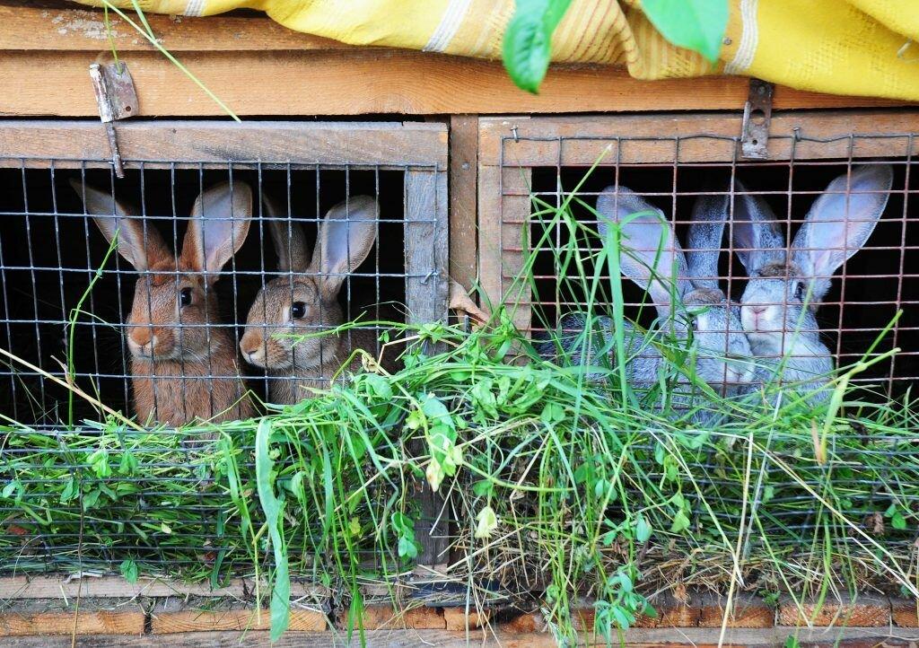 Разведение и содержание кроликов в домашних условиях