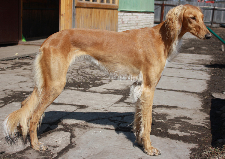 Салюки: характер собаки, дрессура персидской борзой