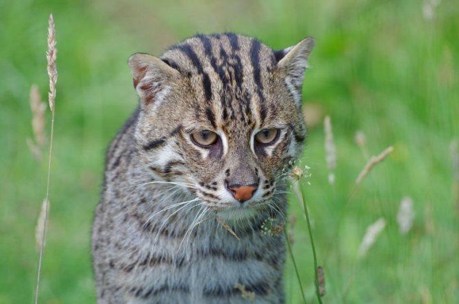 Фото камышовых котов: все о породе, характере, содержании
