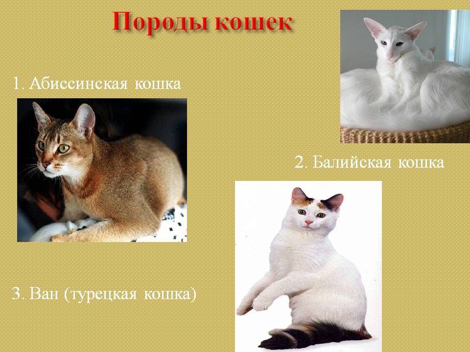 Ориентальная кошка: топ-200 фото, цена котенка, особенности породы, плюсы и минусы содержания, интересные факты о происхождении