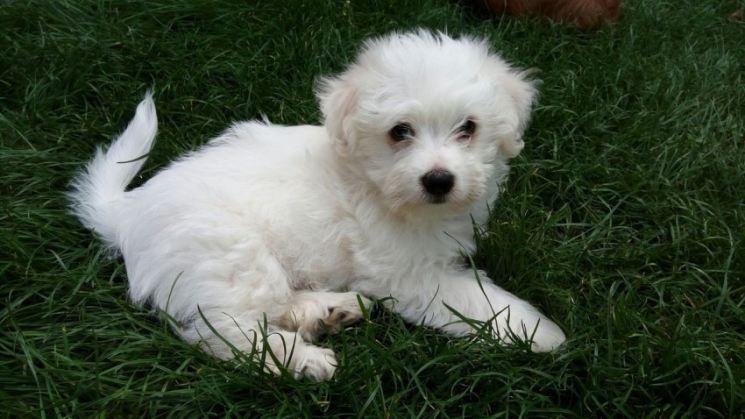 Болоньез собака (итальянская болонка): фото, уход и содержание