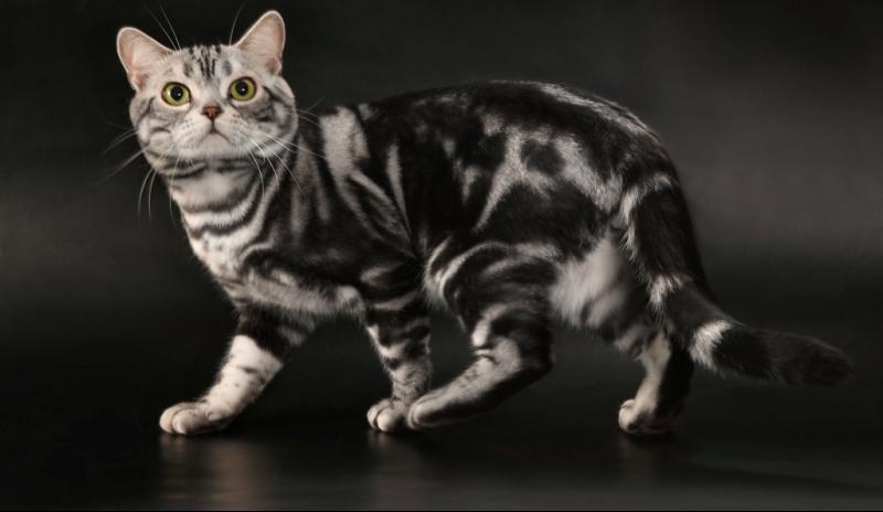 Окрасы кошек. общая информация